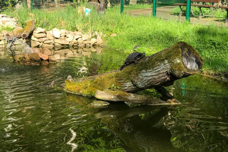 Weibliche Stabschildkröte (Stabi Testudinata) in Symbiose mit Gelbbauch-Schmuckschildkröte (Trachemys scripta scripta)